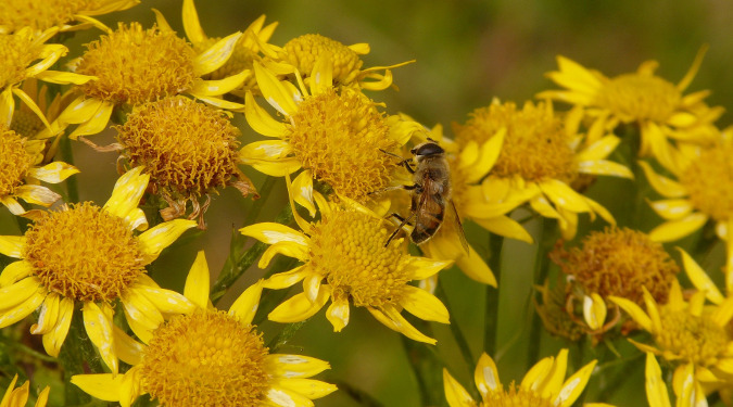 Bee pollinating an Arnica field. Biodynamic gardening does not rely on chemical fertilizers but instead treats each farm as a system that can effectively care for itself.