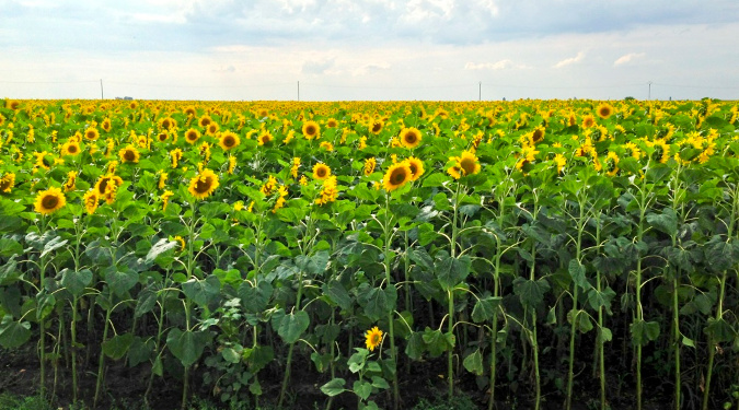 A field of sunflowers grown at a farm. Barbara Close grew some herbs for her products at her family's Virginia farm.